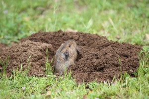 Gopher Pushing Dirt