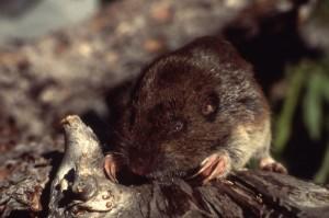 pocket gopher, gopher, rodent, landscape, lawn, pest control, exterminator