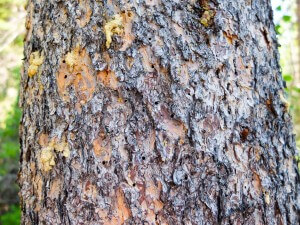 Pine Bark Beetle photo by Dustin Blakey https://flic.kr/p/vvb5se