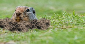 Get Rid of Gophers, Gopher Control