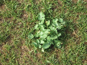 We get rid of lawn weeds like this shown in the park