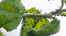 The signs of aphids include sooty mold, ants, or leaves that have become twisted or distorted