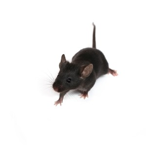 Get Rid of Mice, Mouse in House, Pest Control, Ventura County