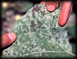 downey mildew, plant disease, dying trees, leaf, lawn, landscape