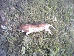 dead gopher, rodent, pest, exterminator, pest control