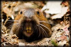 gopher, rodent, pest, pest control, lawn, landscape