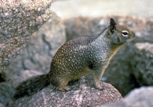 ground squirrel, rodent, pest, pest control, exterminator