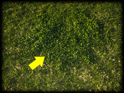 lawn, weeds, plant disease, pests, dying plants