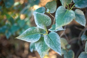 Ventura County Leaf with Mildew, a Plant Disease we can help