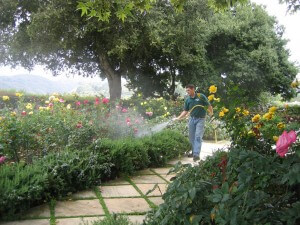 spraying shrubs, flowers, landscape, insects, plant disease