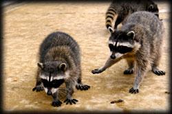 raccoons feces, pest, rodents, pest control, exterminator