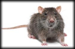 rat, pest control, pest, rodent, exterminator, santa barbara
