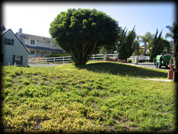 apple tree, dying tree, pest control, landscape, camarillo