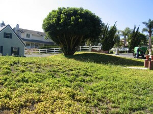 apple tree, dying tree, plant disease, malibu, landscape