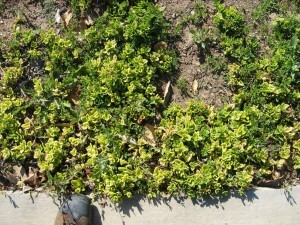 plant health, pest control, apple tree, santa barbara