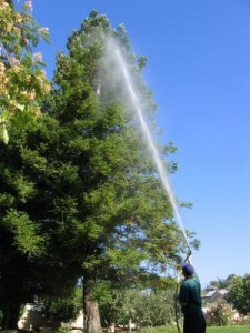 spraying redwood, plant disease, pest control, insects