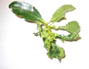 Leaf Curl on Myopurum tree shrub plant, disease, pest control