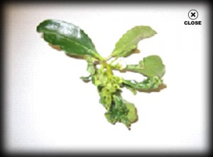 leaf with thrips, plant disease, dying tree, insects, camarillo