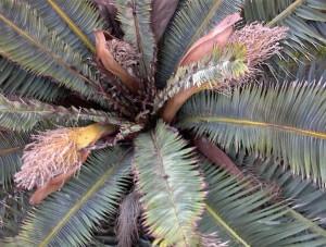 dying tree, palm, plant disease, pest control, camarillo