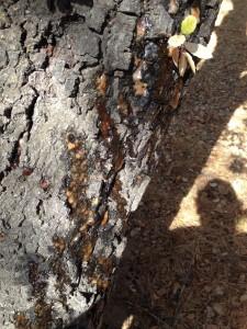Bark Beetle Damage