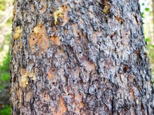 Pine Bark Beetle photo by Dustin Blakey https://flic.kr/p/vvb5se