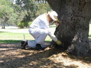 bee keeper treating a tree, pest control, insects, ventura county