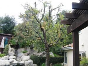 diseased oak tree, mildew, plant disease, tree, pest control