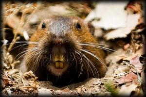 gopher, rodent, exterminator, lawn, landscape, camarillo