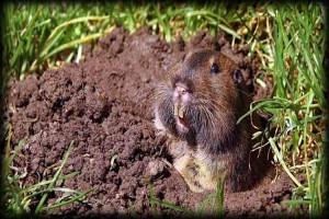 gopher, lawn, landscape, exterminator, weeds, trees