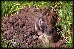 gopher, rodent, pest, exterminator, pest control, weeds
