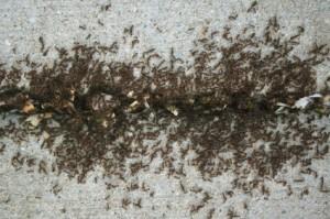 Ants, pest control service, Camarillo, CA, Bug Blasted
