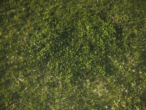 lawn, landscape, weeds, plant health, plant disease