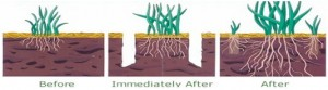 lawn aeration, weed, plant disease, landscape, camarillo