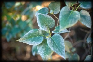 leaf, mildew, leaf, trees, landscape, plant disease, camarillo