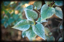 leaf, mildew, plant disease, dying trees, weeds, plants