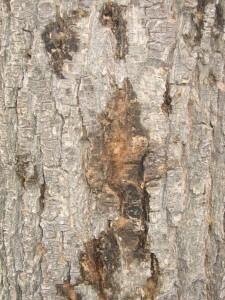 pear tree, bores, plant disease, plant health, pest control