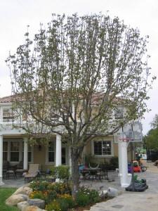 pear tree, bores, plant disease, dying tree, santa barbara, ventura county