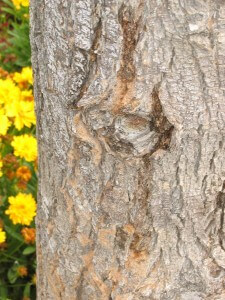 pear tree, dying tree, bores, plant disease, pest control