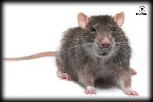 rat, pest control, rodent, exterminator, camarillo