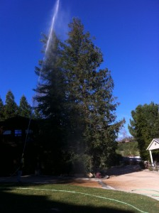 pine tree care