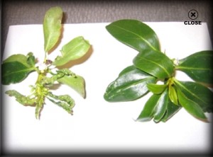 thrips before after, leaf, dying tree, plant disease