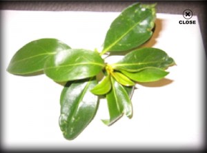 leaf with thrips, plant disease, tree, shrub, insects, pest control