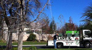 spraying tall trees