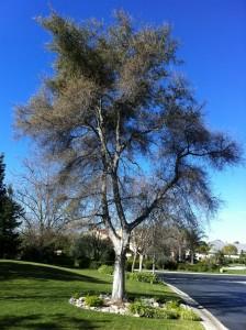 healthy trees